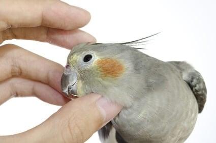 most cuddly parrots