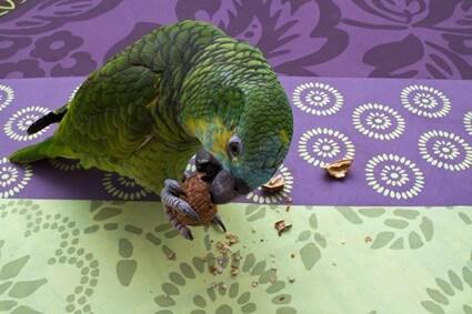 parrot has broken beak tip