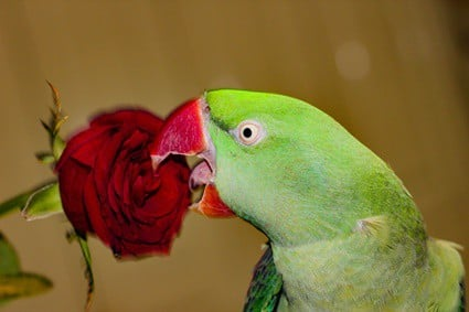 parrot keeps sticking tongue out