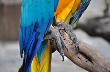 parrot nail length