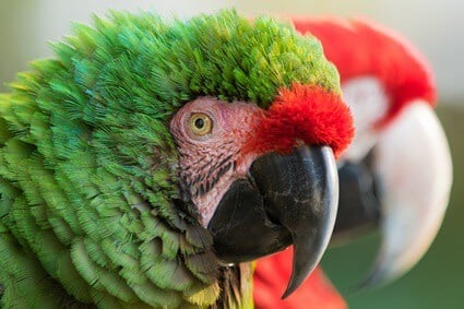 parrot puffing feathers