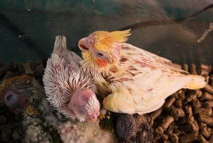 parrot reproduction process