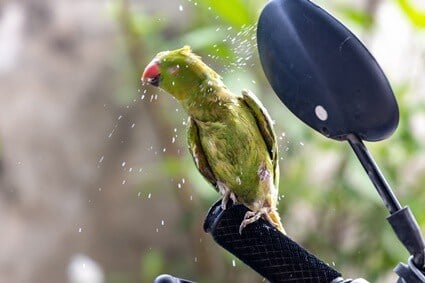 parrot shaking feathers