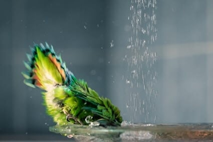 parrot shivering after bath