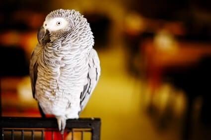 quaking in parrots