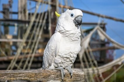 reasons why pirates have parrots