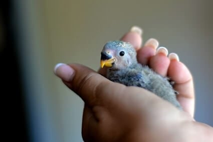 sneezing in baby parrots