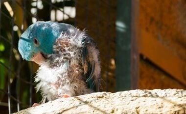 symptoms of ringworm in parrots