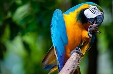 ulcerative pododermatitis in parrots