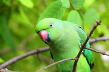 what are green parrots called?