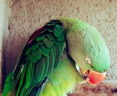 what causes bumblefoot in parrots?