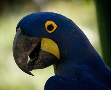 what color are parrots' tongues?