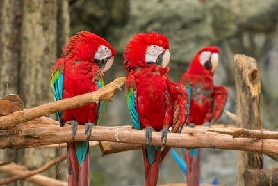 what does it mean when a parrot fluffs its feathers?