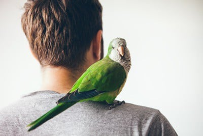 what does it mean when a parrot grooms you?