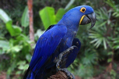 what is the largest member of the parrot family?