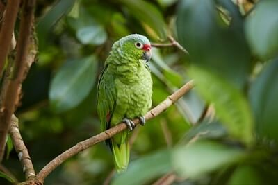 what's the difference between a parakeet and parrot?