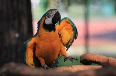 why do parrots dance to music?