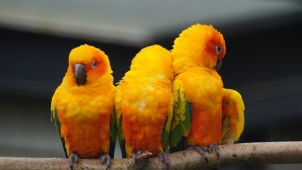 why do parrots get puffy?