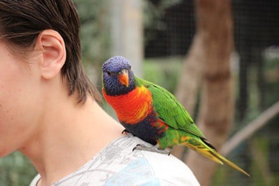 why do parrots like shoulders?