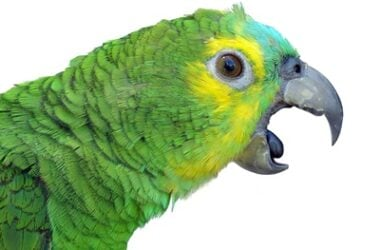 why do parrots scream so much?