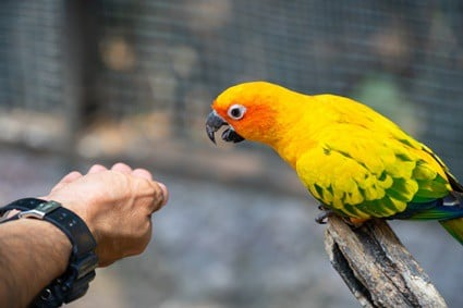 why does my parrot lunge at me?