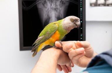 why is my parrot regurgitating?