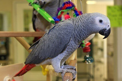 african grey parrots as pets
