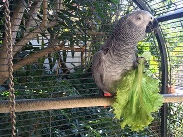are lettuce safe for parrots?