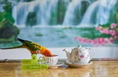 can parrots drink tea?