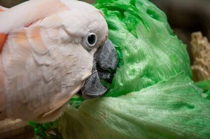 can parrots eat iceberg lettuce?
