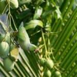 can parrots eat mango?