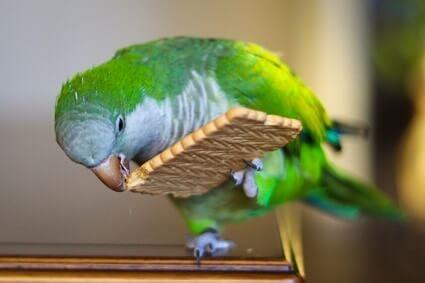 can parrots eat rich tea biscuits?