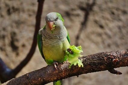 can parrots eat romaine lettuce?