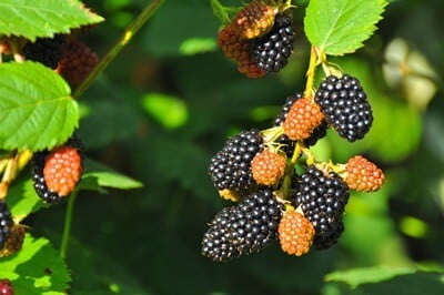 can you feed parrots blackberries?