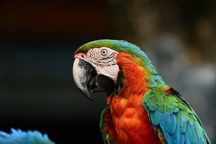 do parrots blush?