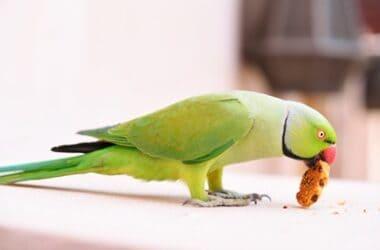 do parrots eat biscuits?