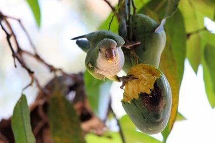 feeding parrots mango