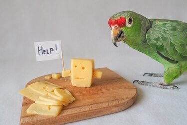 is cheese bad for parrots?