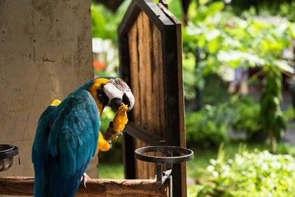 is mango OK for parrots?