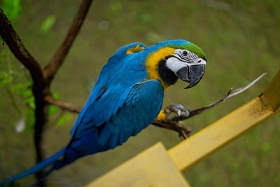 macaw blushing
