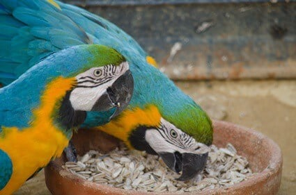 what type of seeds do parrots eat?