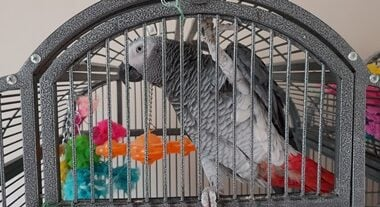 why do African greys have red tails?