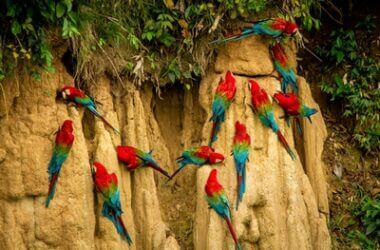 why do parrots eat clay?