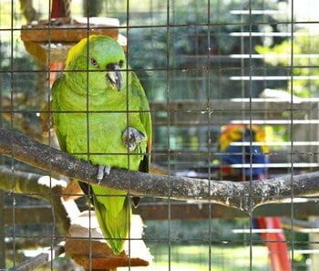 why do parrots stand on one foot?