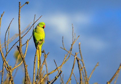 Can a domesticated parrot survive in the wild?