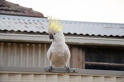are cockatoos noisy pets?