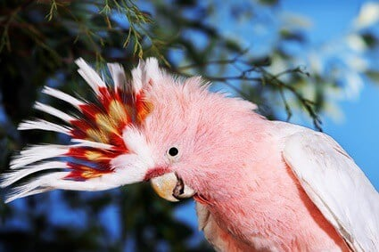 are macaws louder than cockatoos?