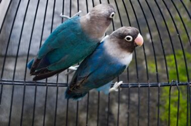 are parrots happy in cages?