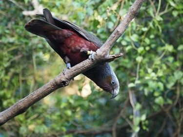 ataxia in parrots