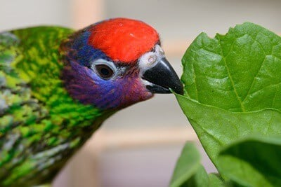 can parrots eat spinach?